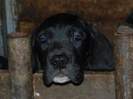 Foto 8 Deutsche Doggen Welpen