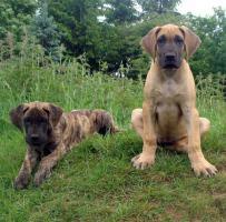Deutsche Doggen-Welpen gelb und gestromt aus VDH/DDC-Zucht