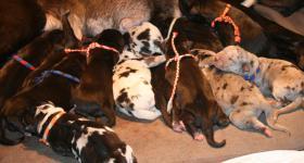 Foto 3 Deutsche Doggen Welpen suchen Ihr Zuhause