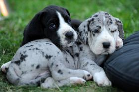 Deutsche Doggen Welpen zu verkaufen