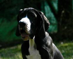 Deutsche Doggen Welpen, VDH - abgabebereit