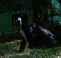 Foto 2 Deutsche Doggen Welpen, VDH - abgabebereit