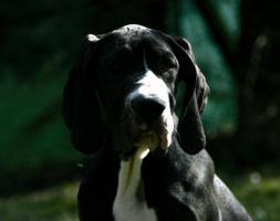 Foto 3 Deutsche Doggen Welpen, VDH - abgabebereit