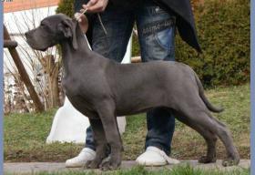 Deutsche Doggenhündin  blau,  7 Monate