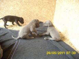 Foto 6 Deutsche-Doggenwelpen