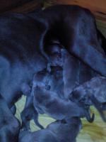 Foto 2 Deutsche Doggenwelpen Blau