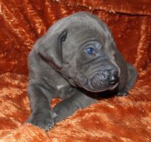 Foto 3 Deutsche Doggenwelpen in Blau und Schwarz mit Papieren