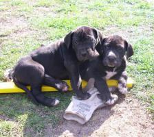 Deutsche Doggenwelpen reinrassig zu verkaufen!!!