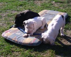 Foto 3 Deutsche Doggenwelpen reinrassig zu verkaufen!!!