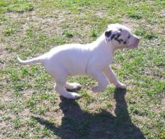Foto 4 Deutsche Doggenwelpen reinrassig zu verkaufen!!!
