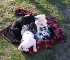 Foto 5 Deutsche Doggenwelpen reinrassig zu verkaufen!!!