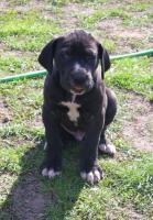 Foto 6 Deutsche Doggenwelpen reinrassig zu verkaufen!!!