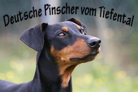Deutsche Pinscher Welpen