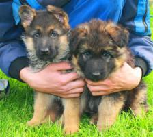 Deutsche Schäferhund Welpen abzugeben
