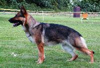 Foto 2 Deutsche Schäferhunde ''von den schwarzen Äckern''