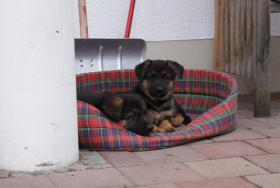 Foto 2 Deutsche Schäferhundewelpen aus Kör-und Leistungszucht