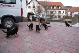 Foto 3 Deutsche Schäferhundewelpen aus Kör-und Leistungszucht
