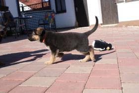 Foto 4 Deutsche Schäferhundewelpen aus Kör-und Leistungszucht