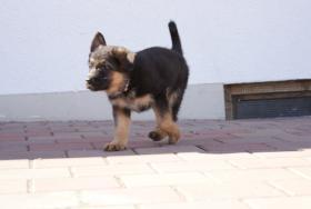 Foto 5 Deutsche Schäferhundewelpen aus Kör-und Leistungszucht