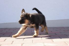 Foto 6 Deutsche Schäferhundewelpen aus Kör-und Leistungszucht