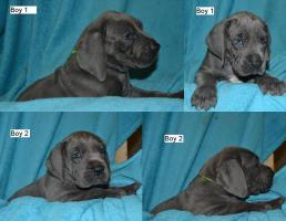 Foto 2 Deutsche dogge blau