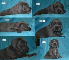 Foto 4 Deutsche dogge blau