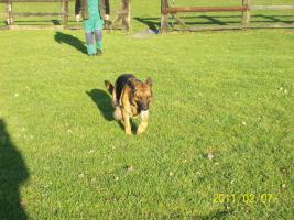 Foto 4 Deutsche kr�ftige Sch�ferhundewelpen zu verkaufen