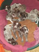 Foto 2 Deutsche kurzhaar Vorstehunde-Welpen zur verkaufen