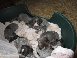 Foto 3 Deutsche kurzhaar Vorstehunde-Welpen zur verkaufen