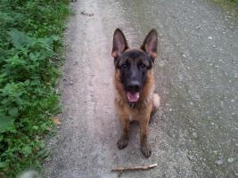 Deutscher Schäferhund 9 Monate alt