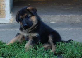 Foto 2 Deutscher Schäferhund Welpen Wurftag: 29.06.2012