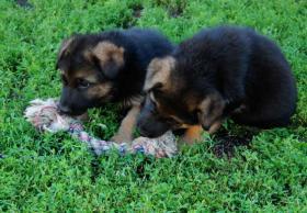 Foto 3 Deutscher Schäferhund Welpen Wurftag: 29.06.2012