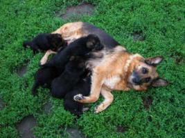 Foto 7 Deutscher Schäferhund Welpen Wurftag: 29.06.2012