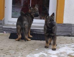 Foto 2 Deutscher Schäferhund Welpen - 2 lezte frei Hündinen