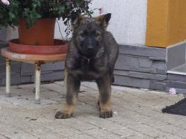 Foto 5 Deutscher Schäferhund Welpen - 2 lezte frei Hündinen