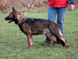 Deutscher Schäferhund ( DSH) Hündin