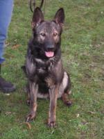 Foto 2 Deutscher Schäferhund ( DSH) Hündin