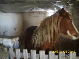 Foto 2 Deutsches Reit Ponny
