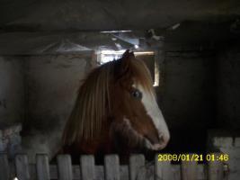 Foto 3 Deutsches Reit Ponny