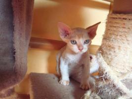 Devon Rex Katzenbabys mit Papiere