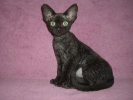 Foto 3 Devon Rex Kitten