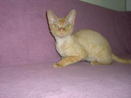 Foto 5 Devon Rex Kitten
