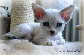 Devon rex kätzchen mit blauen Augen und FIFe Stammbaum