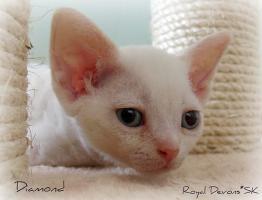 Foto 4 Devon rex kätzchen mit blauen Augen und FIFe Stammbaum