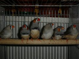 Foto 2 Die letzten Zebrafinken