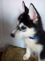 Foto 2 Die letzten drei Welpen von Siberian Husky suchen ein neues Zuhause.