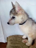 Foto 5 Die letzten drei Welpen von Siberian Husky suchen ein neues Zuhause.