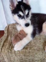 Foto 9 Die letzten drei Welpen von Siberian Husky suchen ein neues Zuhause.