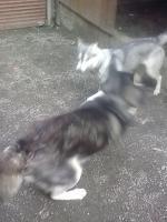 Foto 12 Die letzten drei Welpen von Siberian Husky suchen ein neues Zuhause.