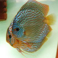 Diskusfische 4-11 cm